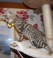 GCCF Reg,  Savannah Kittens Bred To High Standards.