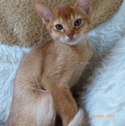 Abyssinian Kittens For Good And Caring Homes.