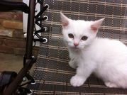 Ready Now - Gorgeous White Male And Female Munchkin Kittens.